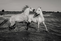 Two Wild Horses Stock Photography