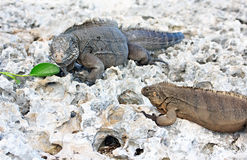 Two wild iguanas Royalty Free Stock Photography