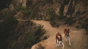 Two wild kongo dogs exploring forest stock video