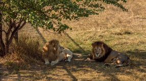 Lions rest to arid savannah Royalty Free Stock Photos