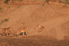 Two wild lionesses and cubs Royalty Free Stock Photography