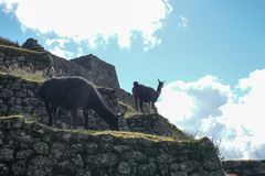 Two wild llamas stand on the Inca ruins at different heights and look for something to eat. stock images