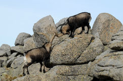 Two wild males between rocks Royalty Free Stock Photo
