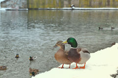 Two wild mallard ducks standing on pier covered with snow near river. Wild nature life, feeding ducks, walking in winter park conc. Wild nature life, feeding Stock Photo