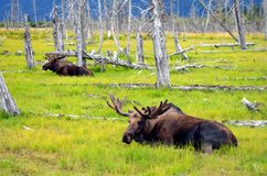 Moose Resting in Meadow. Two wild moose resting in meadow stock photos
