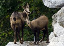 Two wild mountain goats are watching curiously the visitors of Alpine Zoo in Innsbruck royalty free stock image