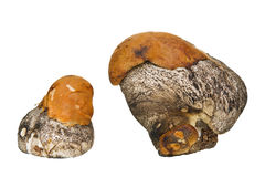 Two wild mushrooms Royalty Free Stock Photo