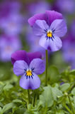 Two wild pansy`s Viola tricolor Stock Photo