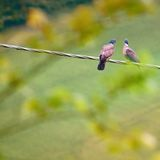 Two wild pigeons Royalty Free Stock Photo