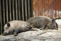 Two wild pigs Stock Image