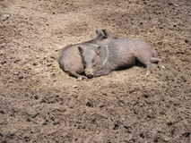Two wild pigs resting in the mud. Royalty Free Stock Image