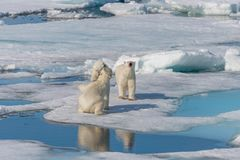 Two wild polar bears eating killed seal on the pack ice north of Spitsbergen. Island, Svalbard royalty free stock photo