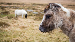 Two wild ponies. On Dartmoor,  Cornwall and Devon, England Stock Image
