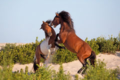 Two wild ponies fighting on beach Royalty Free Stock Photo