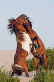Two wild ponies fighting on beach. Two wild ponies fighting on Assateague Island Maryland Royalty Free Stock Photos