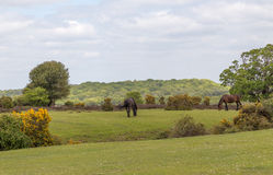 Two wild ponies in the New Forest, Hampshire stock image