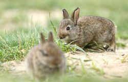 Two wild rabbits Stock Photos