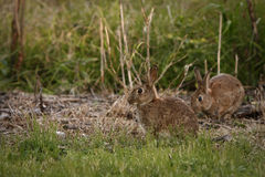 Two wild rabbits in bush Royalty Free Stock Images