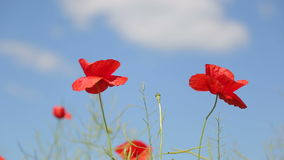 Two wild red poppies. Flower bed with blooming poppies. Two bees fly over flowers. One fast and one slow. Light wind. View from above stock video