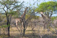 Two Wild Reticulated Giraffe  and African landscape in national Kruger Park in UAR Stock Image