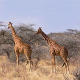 Two wild reticulated giraffe in savannah between bush and trees. Two wild reticulated giraffe (Giraffa camelopardalis reticulata)  in savannah between dry grass Royalty Free Stock Image