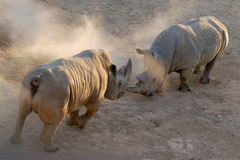 Two wild rhinoceroses battle in the dust, Africa. Royalty Free Stock Photos