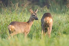 Two wild roe deers grazing in a field Royalty Free Stock Photos