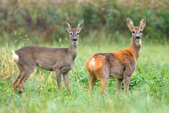 Two wild roe deers, first with winter fur and second still with Royalty Free Stock Photography