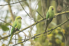 Two wild Rose-ringed parakeets Stock Photos
