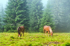 Two wild running horses grazing Stock Image