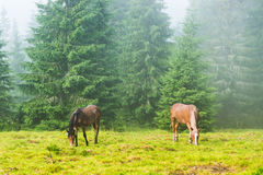 Two wild running horses grazing Stock Images