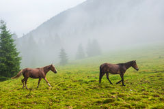Two wild running horses Royalty Free Stock Images
