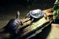 Two wild small turtles in zoo Stock Photo