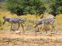Two wild small zebras. Foals in Afrian bush Royalty Free Stock Photos