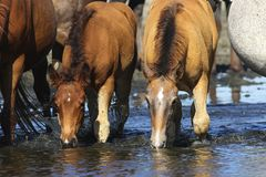 Two wild sorrel foals drinking water. On watering place stock photography