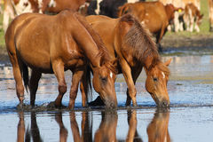 Two wild sorrel horses drinking water. Two sorrel horses drinking water on watering place Royalty Free Stock Photos