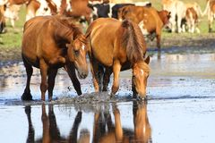 Two wild sorrel horses drinking water. On watering place Stock Photo