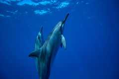 Two wild spinner dolphins closeup shot. Two dolphins swimming up to the water surface to take a breath. Underwater wildlife scene with aquatic animals Stock Photos