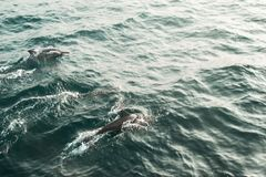 Two wild spinner dolphins swimming in indian ocean. Wildlife nature background. Space for text. Adventure tourism. Travel tour. Mi. Rissa, Sri Lanka. Exploration Stock Image