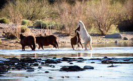 Two wild stallions battle for dominance of nearby wild horse mares. Two young stallions fighting in the water of the salt river while two indifferent mares royalty free stock images