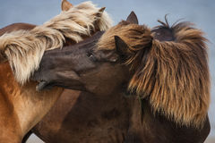 Two wild stallions fighting. The stallion on the left starts a fight with the stallion on the right Stock Photography