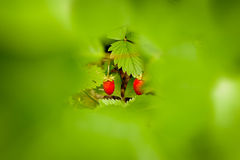 Two wild stravberries surrounded with green leaves. Stock Photography