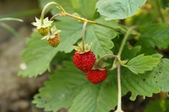 Two wild strawberries Stock Photography