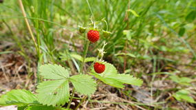 Two wild strawberry berries cose up. Two wild strawberry berries close up Royalty Free Stock Photos
