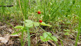 Two wild strawberry berries. Among grass Stock Images