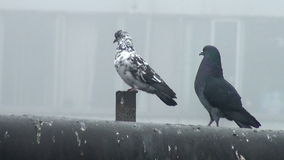 Two wild street pigeon sitting on the tube. Two wild pigeons sitting on the wind in the trumpet stock video