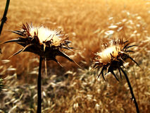 Two wild thistles dry Stock Images