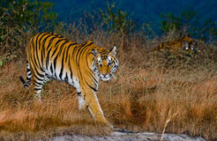 Two wild tiger in the morning twilight in the jungle. India. Bandhavgarh National Park. Madhya Pradesh. An excellent illustration Stock Photos