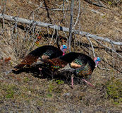 Two Wild Tom Turkeys Royalty Free Stock Photos