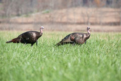 Two wild turkeys Royalty Free Stock Photos